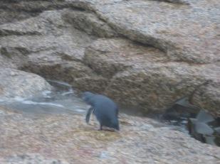 Fairy penguin at Bicheno.
