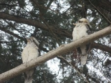 laughing kookaburra's sitting in the old gum tree