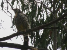 Wattle Bird - or as we call it the 'OK Bird' because of the call it makes