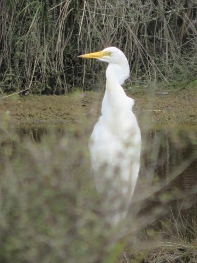Wild white Heron
